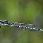 Wandering Ringtail Damselfly, Austrolestes leda by Gerrart