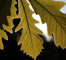 Leaves on a Sunny Day by Karl Tattersall