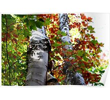 Colorful Fall Birch Trees Poster
