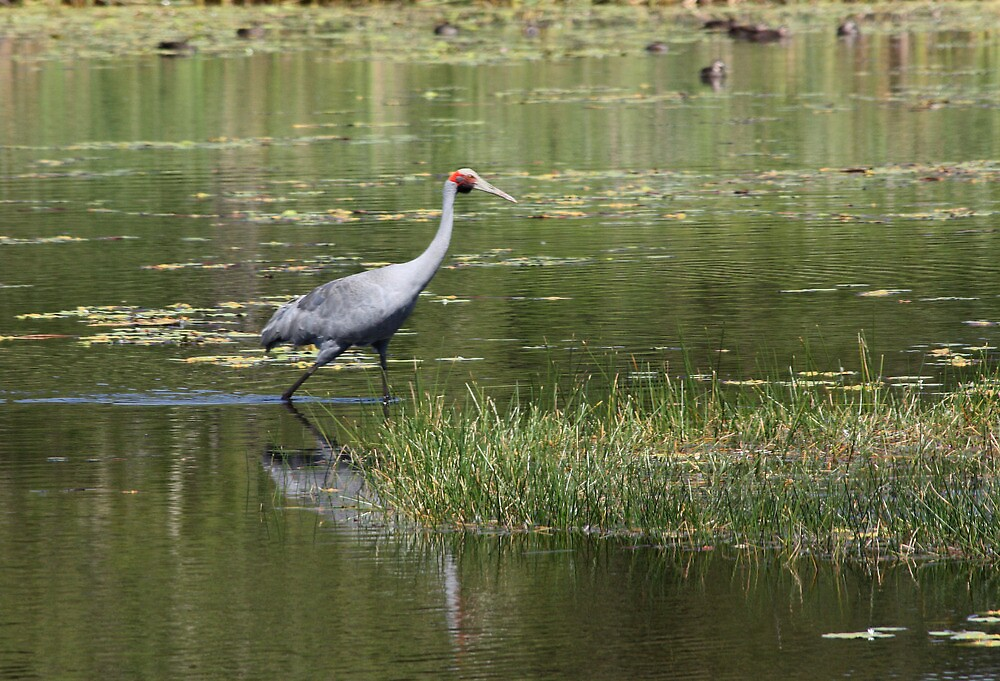 The Lone Brolga by byronbackyard