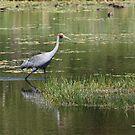 The Lone Brolga by byronbackyard
