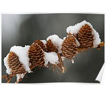 Snowy Larch Cones Poster
