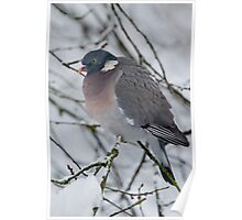 Winter Wood Pigeon Poster