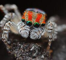 maratus volans (jumping spider) by fishnrobo