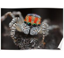 maratus volans (jumping spider) Poster
