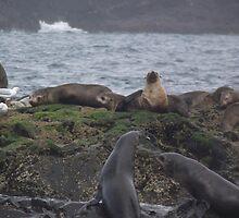more fur seals on Bull Island, Tasmania by gaylene