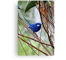 Blue Wren Canvas Print