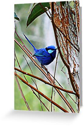 Blue Wren by Julia Harwood