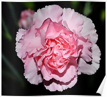Baby Pink Carnation-012 Poster