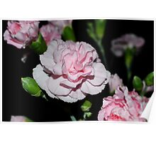 Baby Pink Carnations-015 Poster