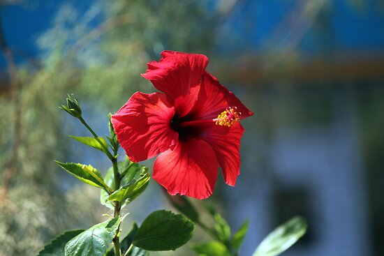Hibiscus by larry flewers