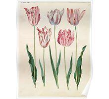 Johannes Simon Holtzbecher Tulipa gesneriana Poster