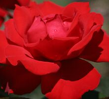 Red Rose by STHogan