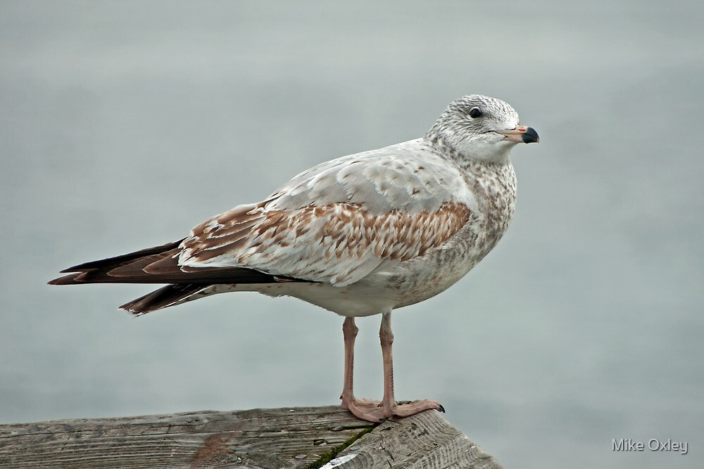 Who's a pretty gull, then? by Mike Oxley