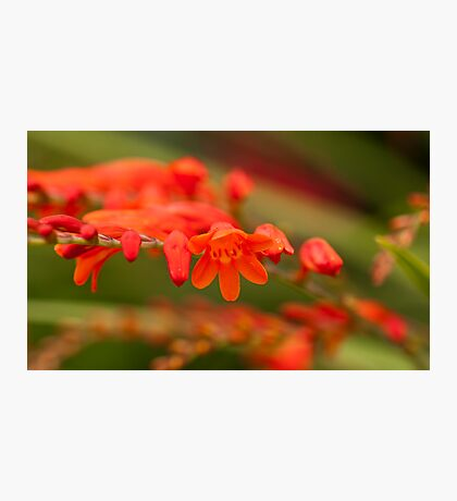 Red Blooms Photographic Print