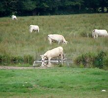Charolais Cows - Limousin, France by joegardner