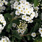 Pure White: Bridal Spirea by Nicole DeFord
