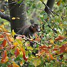 Mongoose Lemur by Dorothy Thomson