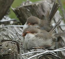 3 Fairy Wren chicks waiting to be fed by Ron Co