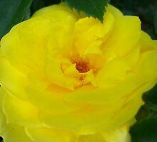 Yellow Rose by kat44