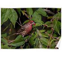 Male House Finch Poster