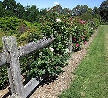The Rose Walk (Kurrajong Heights, NSW) by Lunaria
