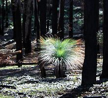 Post February 2009 Bushfires - between Healesville and Kinglake VIC  by Emmy Silvius