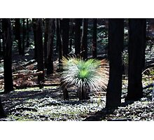 Post February 2009 Bushfires - between Healesville and Kinglake VIC  Photographic Print
