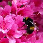 Greedy Little Bee by paulmcardle