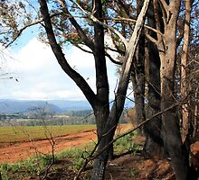 Post February 2009 Bushfires - near Yarra Glen VIC  by OzNatureshots