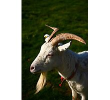 Welsh Goat Photographic Print