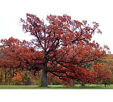 Mighty Red Oak Photographic Print