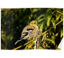 It's All Fluff - American Goldfinch Poster
