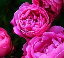 Baronne Prevost Roses by Jennifer Lyn King