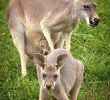 """""""Hop Along"""" - red kangaroos by John Hartung"""