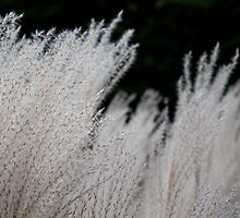 Silver Grass in the Wind Close by aclepsa