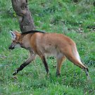 Maned Wolf by Dorothy Thomson
