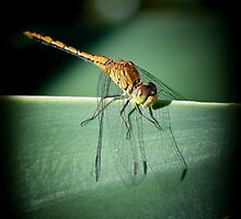 Dragonfly by Olivelle