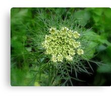 Flowering carrot Canvas Print