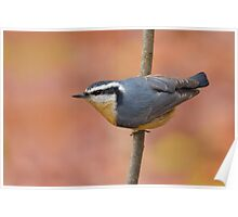 Red-breasted Nuthatch Poster
