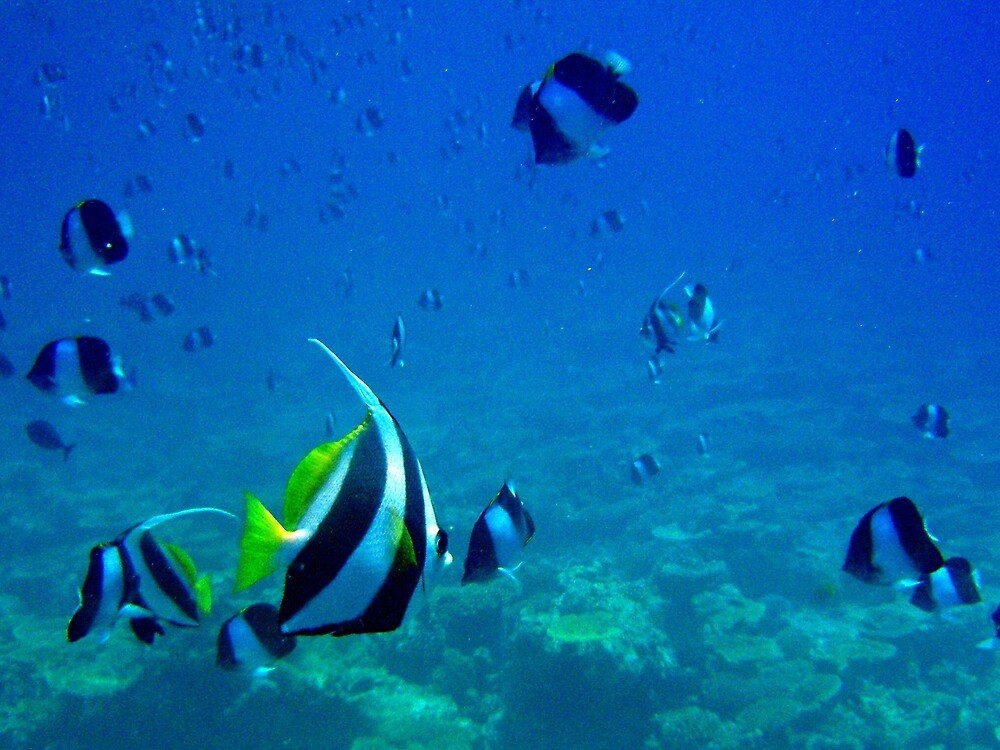 Underwater Maldives: Clouds of fishes, False Moorish Idols (A) and Brown-and-white Butterflyfishes (B) by presbi