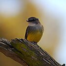 Western Yellow Robin by Eve Parry