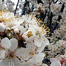 Spring Blossom by Eve Parry