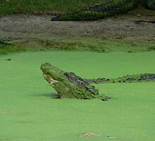 Gator No. 3 by kevint