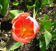 Spring Tulip by kat44