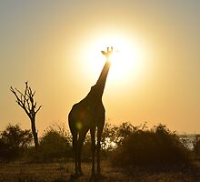 Giraffe in the sunset by AndyKanzi