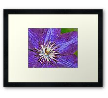 Clematis, vibrant colors Framed Print