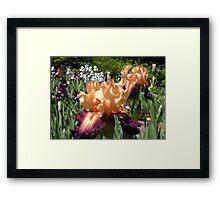 Peach and Purple Bearded Iris Framed Print