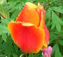 Spring Orange Tulips by kat44