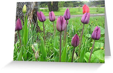 Purple Tulip by kat44